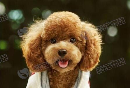 泰迪患犬瘟会有哪些症状?